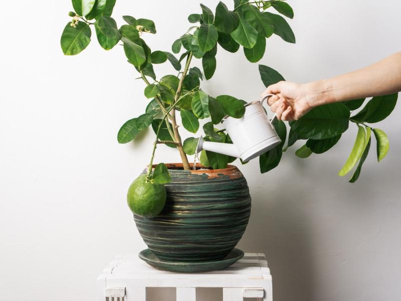 zitronenbaum pflege wie viel wasser braucht der zitronenbaum zitronenbaum gießen zitronenbaum selber ziehen zitronenbaum im keramiktopf mit веи ер:гие канне