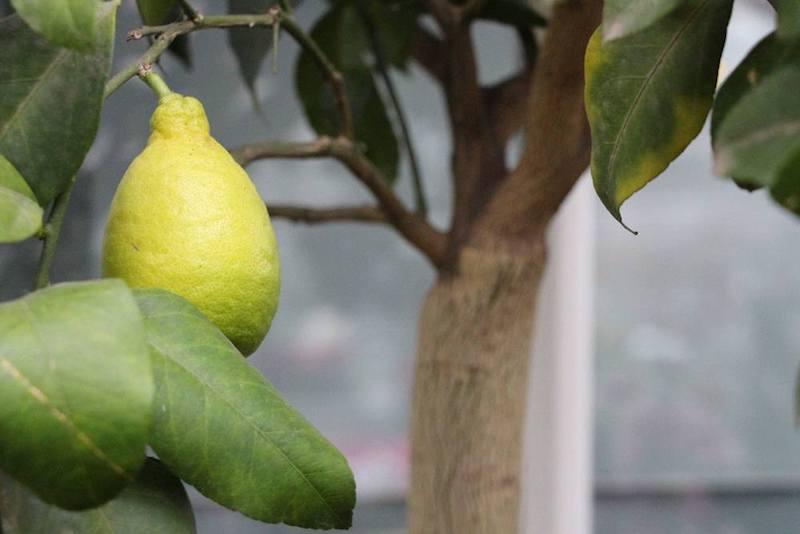 zitronenbaum schneiden zitronenbaum gelbe blätter zitronenbaum pflanzen wie pflege ich einen zitronenbaum richtig zitronenbaum im freien