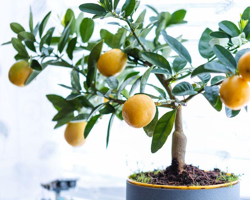 zitronenbaum überwintern drinnen pflege zitronenbaum im topf ziehen wie viel wasser braucht zitronenbaum