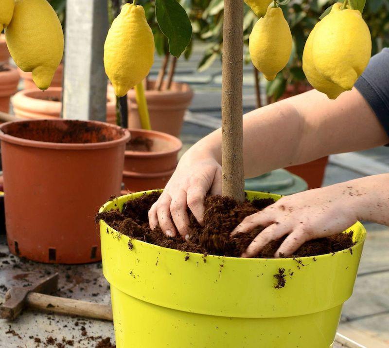 zitronenbaum umtopfen zitronenpflanzen zitrone selber ziehen zitronenbaum überwintern zitronenbaum umtopfen welche topfgröße für zitronenbaum