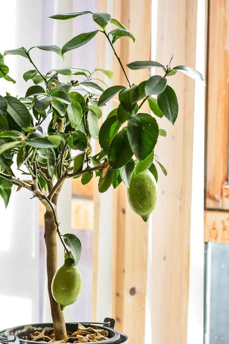 zitronenbaum ziehen zitronenbuam überwintern zitronenbaum frost am fenster sonnenlicht