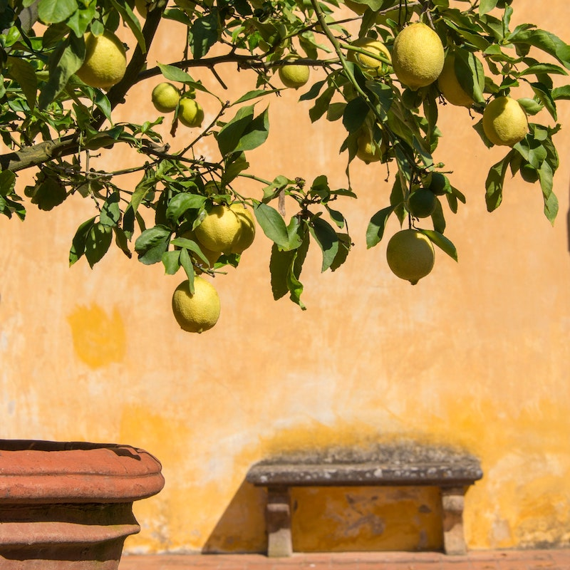 zitrusbaum selber ziehen wie pflanze ich einen zitronenbaum richtig ein zitrone selber ziehen in großem keramiktopf wand