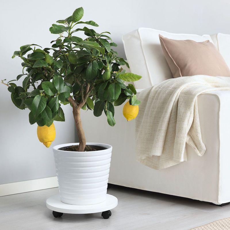 zitrusbaum selber ziehen zitronenbaum blüte pflege zitronenbaum zitronenbaum überwintern wohnzimmer zitronenbaum in weißem keramiktopf