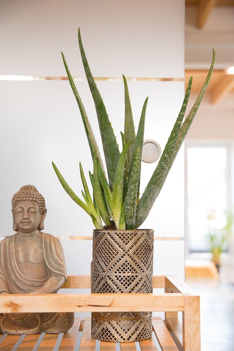 aloe vera saft wirkung aloe vera pflanze nutzen holztopf mit aloe vera buddha statue