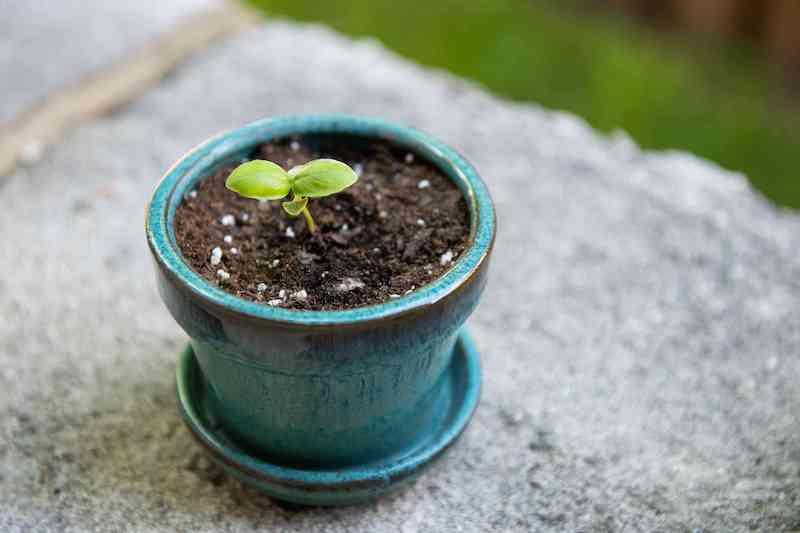 blauer blumentopf kleine pflanze basilikum richtig pflegen