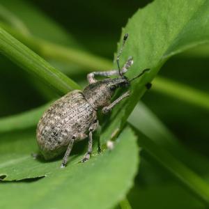 103967646 a weevil liophloeus tessulatus common in a variety of habitats