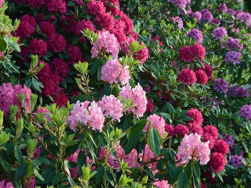 dickmaulrüssler larven erkennen kaffeesatz gegen dickmaulrüssler rhododendron großer strauß rosa lila