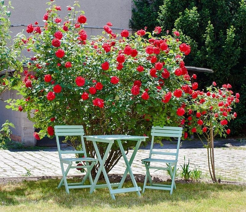 gefurchter ickmaulrüssler schadbild rosenstrauch rot im garten grüne gartenmöbel