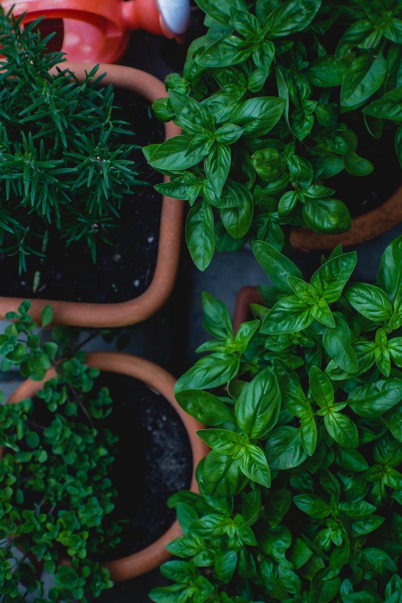 große töpfe mit pflanzen basilikum pflanzen pflege