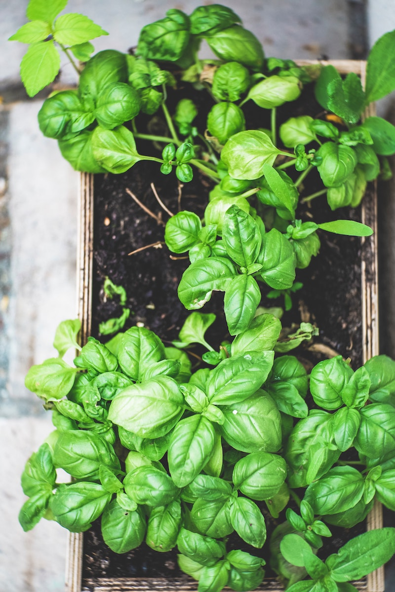 großer topf mit pflanze basilikum richtig pflegen tipps