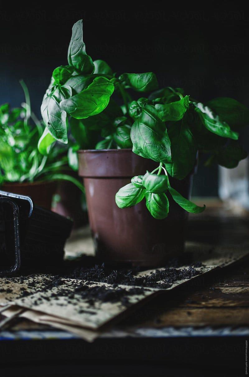 grüne pflanze anbauen basilikum richtig ernten