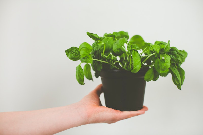hand hält topf mit pflanze basilikum verwendung pesto
