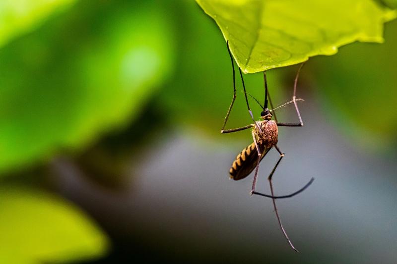 hausmittel gegen mückenstiche mücke am blatt
