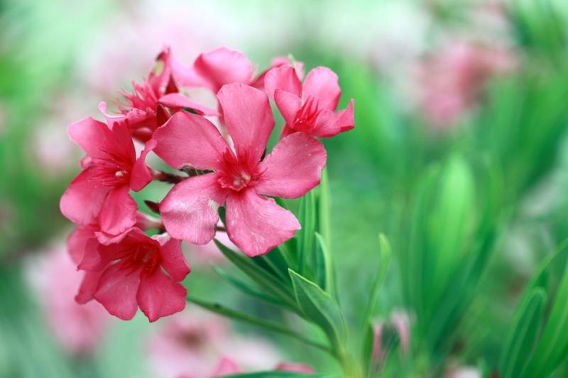 mediterrane pflanze winterhart ein oleander mit pinken blüten