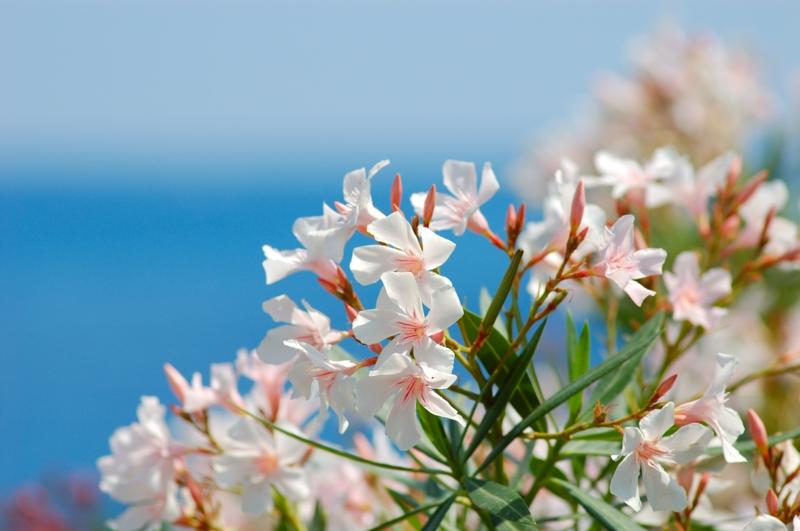 meer gartengestaltung ideen mediterrane pflanzen anlegen ein weißer oleander