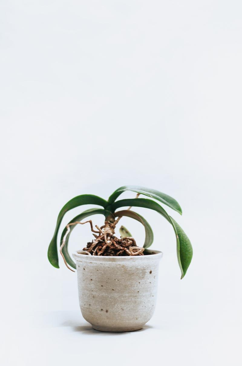 orchideen düngen orchideentop verblühte blume orchidee