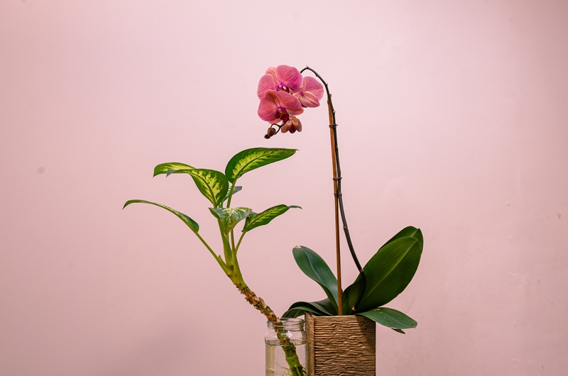 orchideen gießen rosa orchidee pflegetipps