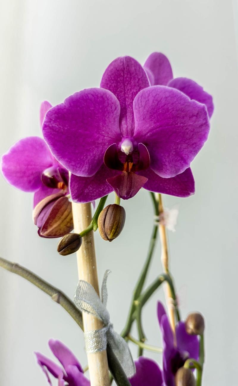orchideen pflege lila orchidee beliebte zimmerpflanze