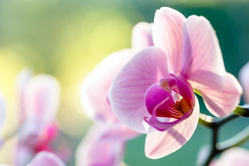 orchideen richtig pflegen ausführliche tipps rosa blume