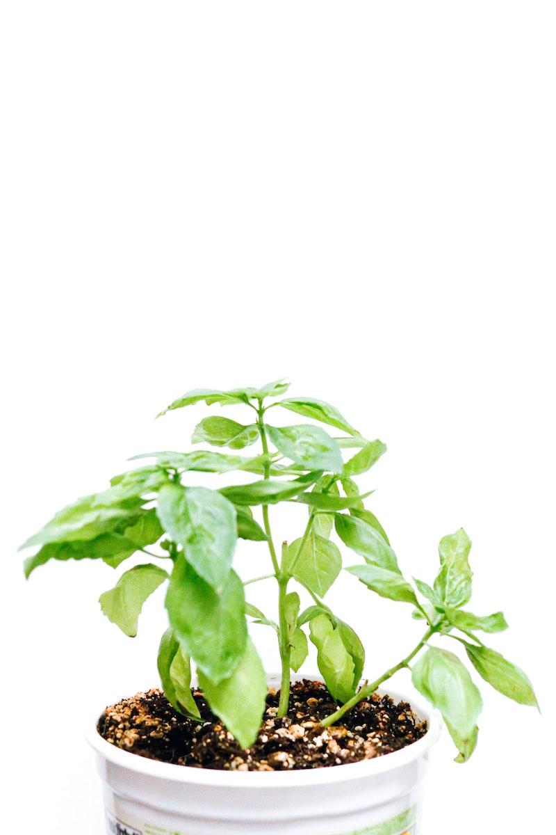 pflanzen zu hause ernten standort basilikum sonne