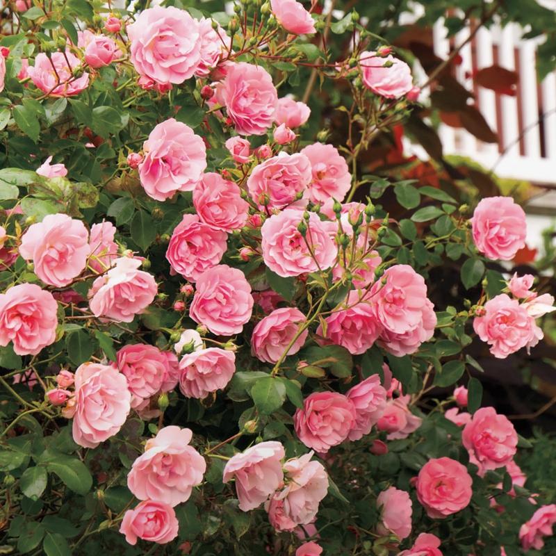 pinke strauchroseb mediterrane pflanzen anlegen rosen im garten