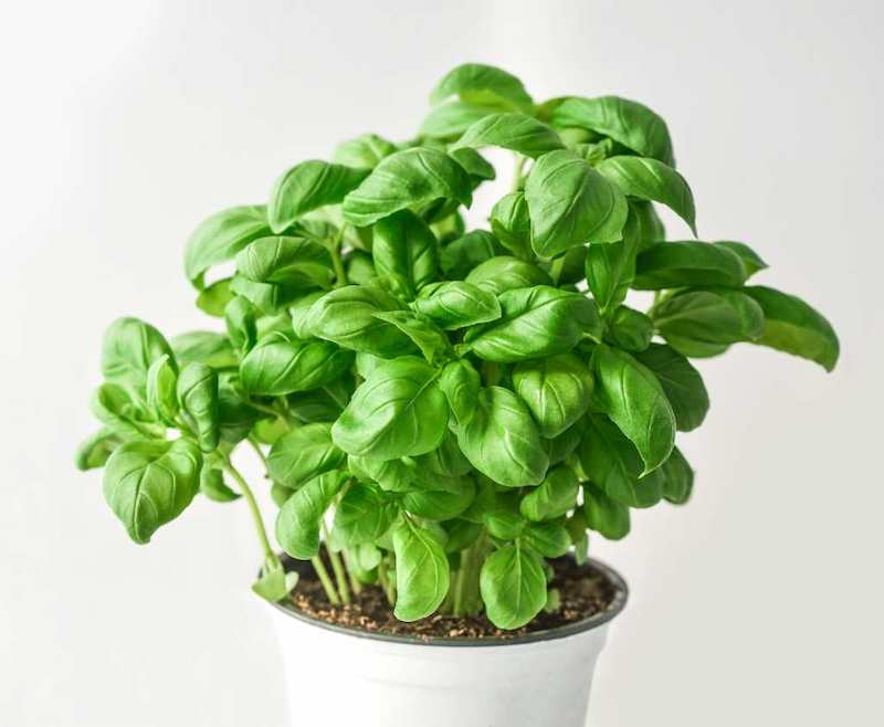 richtige basilikum pflanze pflge infos und tipps