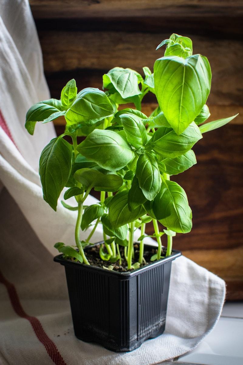 schwarzer plastik topf mit pflanze basilikum richtig ernten infos