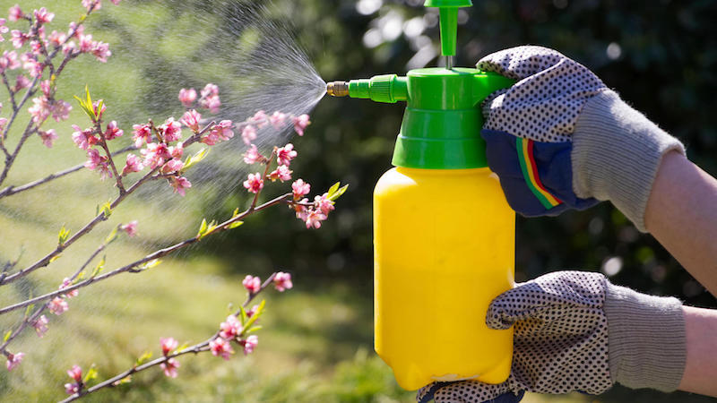 spraying a blooming fruit tree against pests