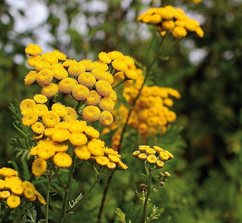 was hilft wirklich gegen dickmaulrüssler käfer im garten rainfarn busche gelb