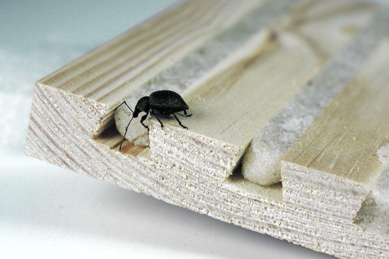 was hilft wirklich gegen dickmaulrüssler käfer mit rüssel schwarzer dickmaulrüssler auf holzbrett