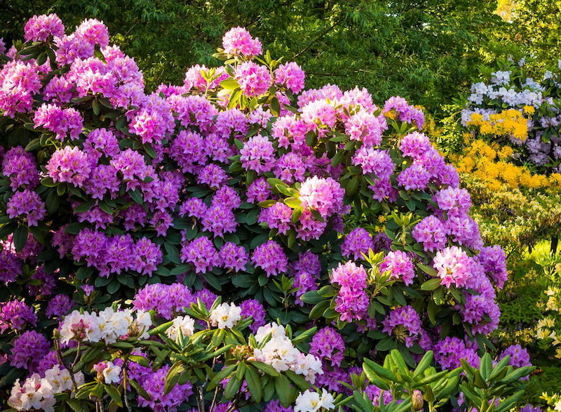 was kann man gegen dickmaulrüssler tun schädlinge dickmaulrüssler lila hortensienstrauch