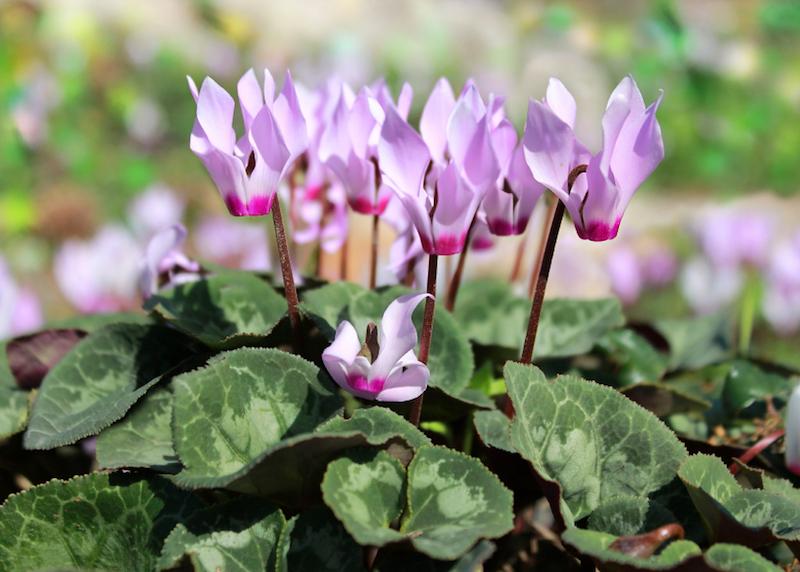 cyclamen, gentle purple flowers