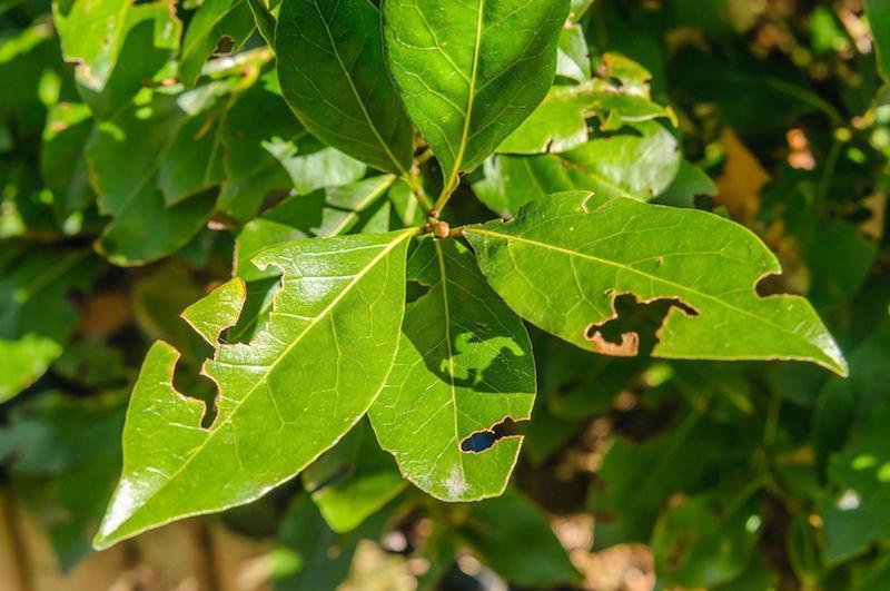 welche pflanzen vertreibt dickmaulrüssler schädliche kirschlorbeer lochfraß blätter