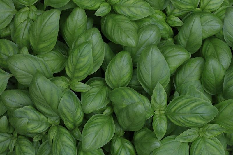 wunderschöne grüne pflanze basilikum verwendung und pflege