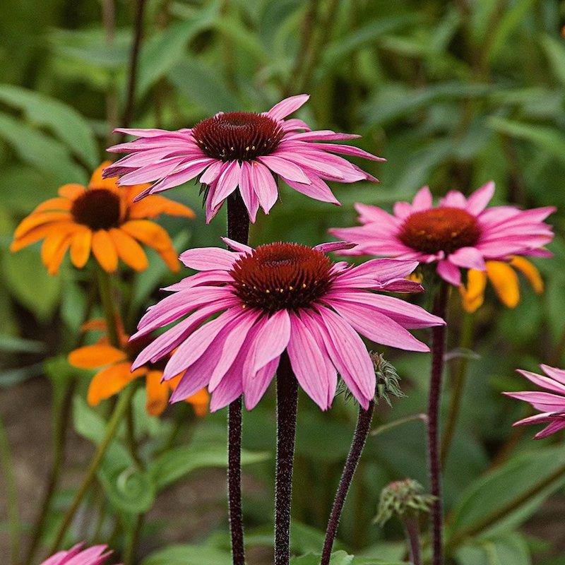 2 sonnenhüte pinke blume lavendel garten passende pflanzen