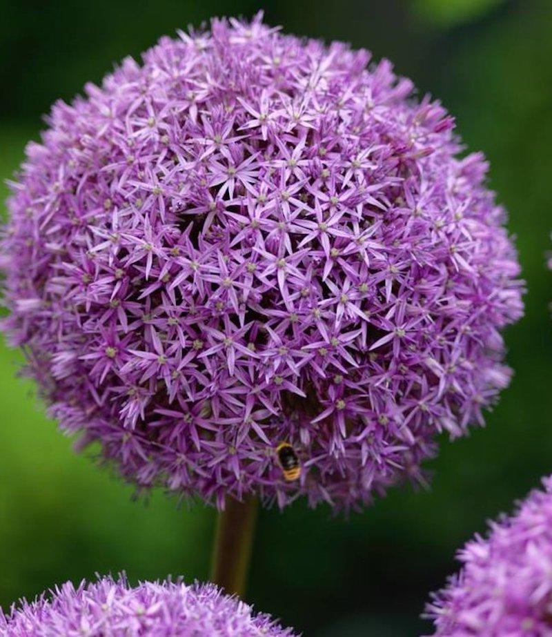 6 lauch lila blume lavendel im garten passende pflanzen