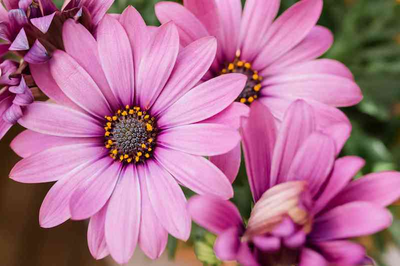 7 kapkörbchen schöne pinke blume begleitpflanzen zu lavendel infos