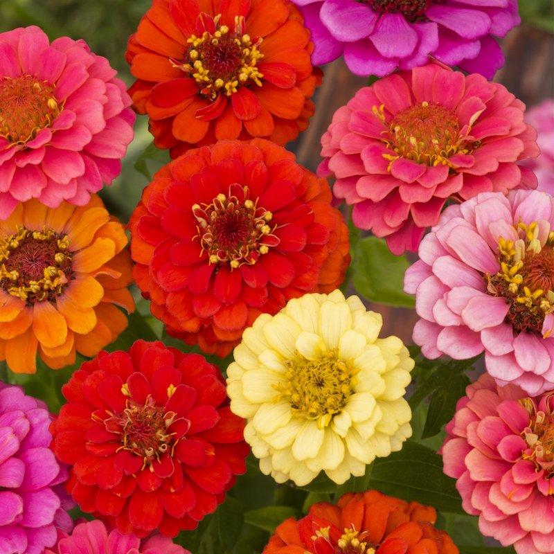 8 zinnie blumen verschiedene farben lavendel garten