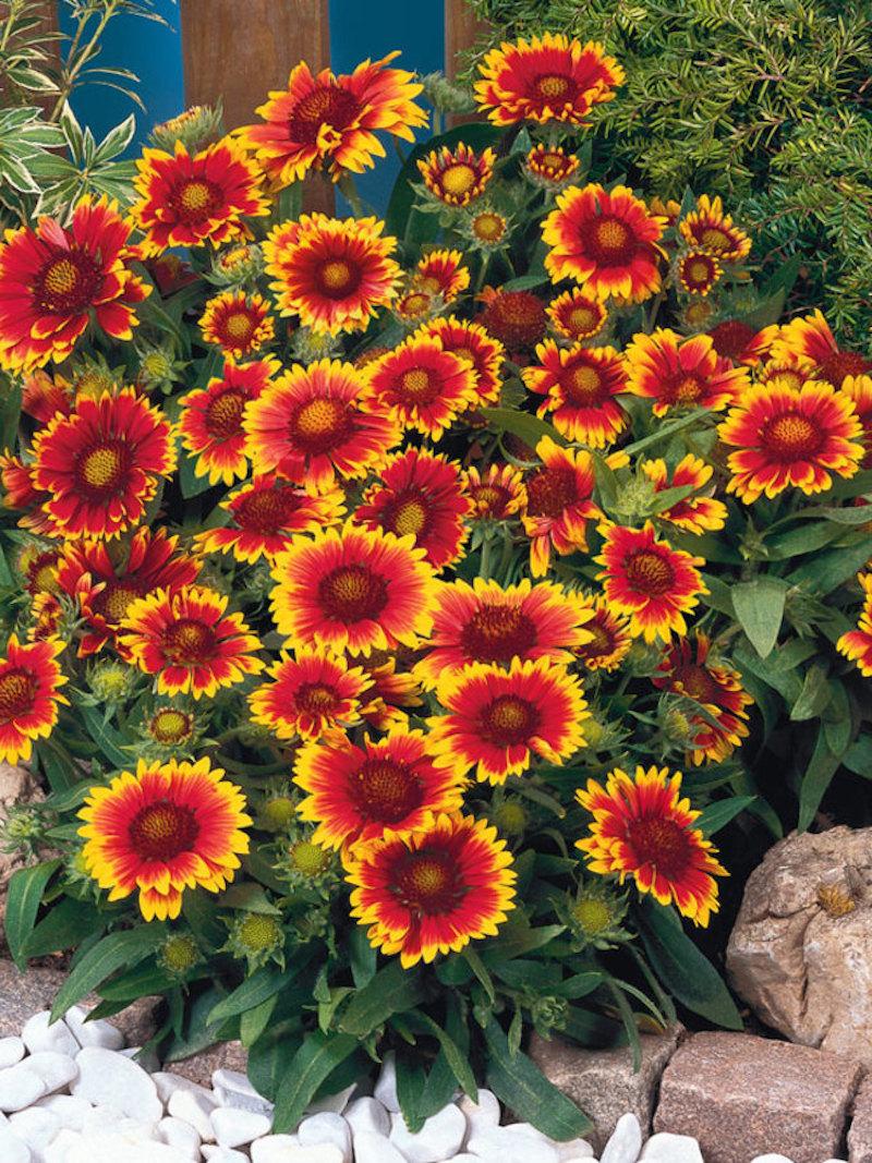 9 kokardenblume garten einrichten was passt zu lavendel ideen