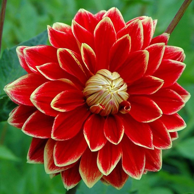 aussäen im september welche blumen im september aussäen rote chrysanthemen