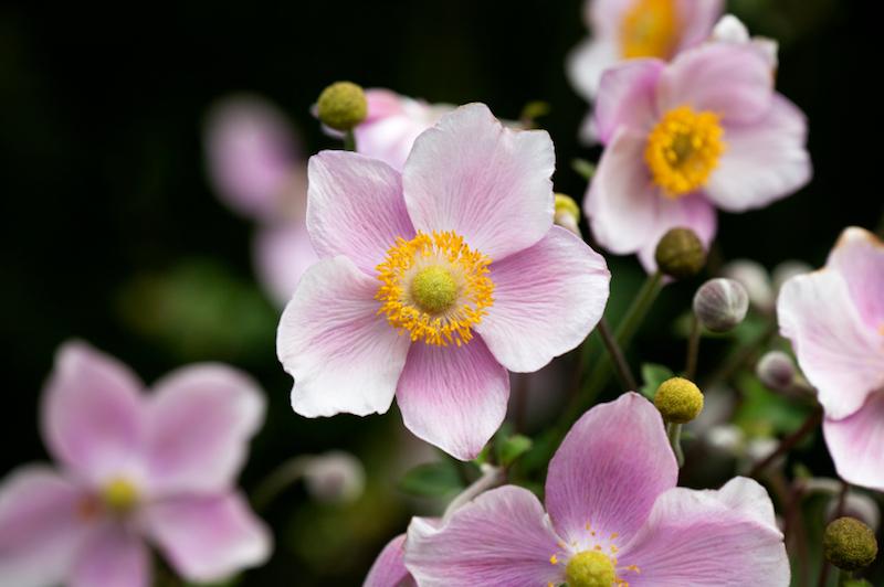 close up of pink japanese anemone flowers (anemone hupehensis).