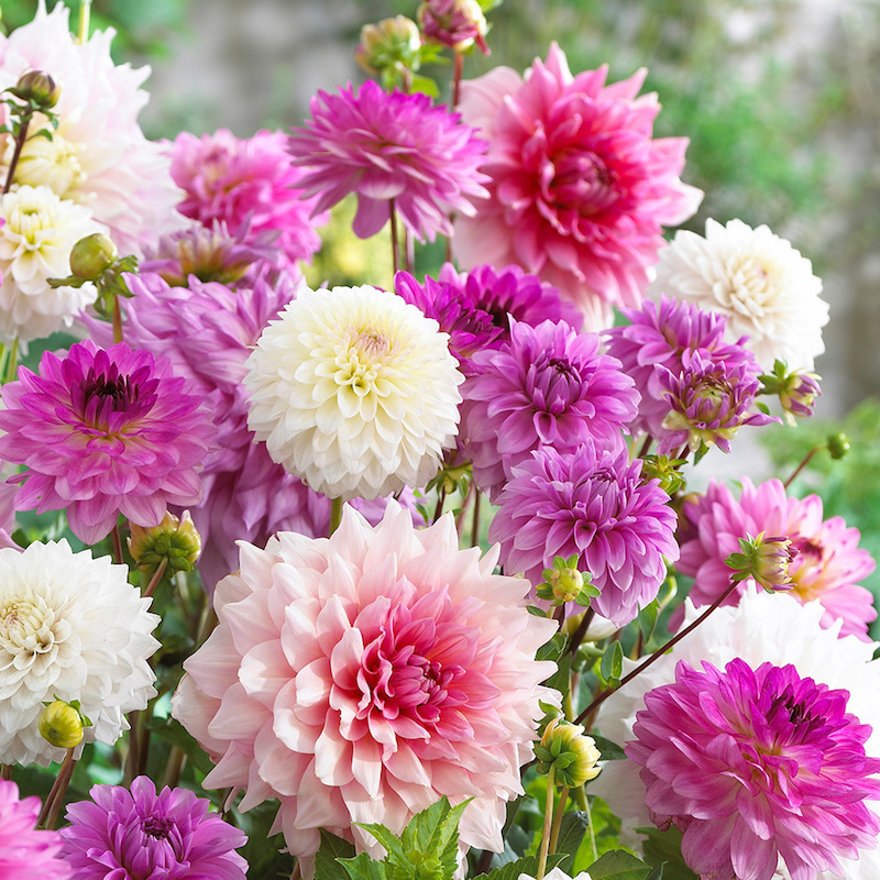 blumen im september aussäen gemischte welche pflanzen im september aussäen chrysanthemen rosa pink weiß