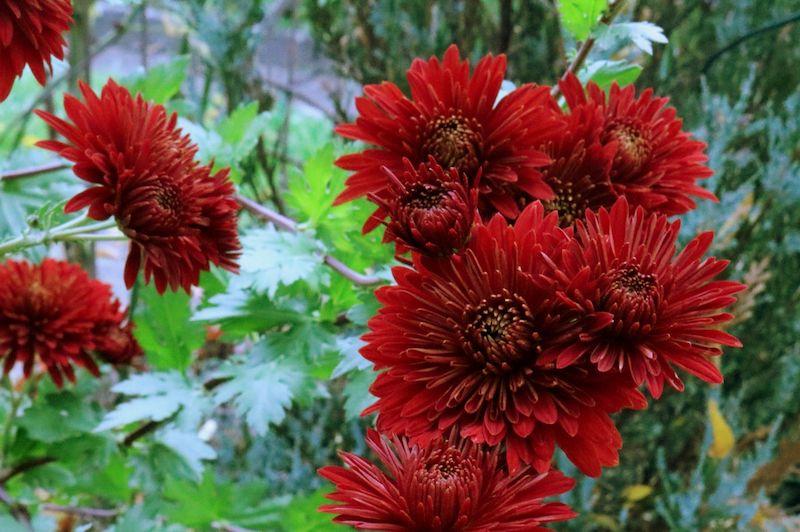 blumen im september aussäen welche blumen kann man im september aussäen winteraster dunkelrote blüte