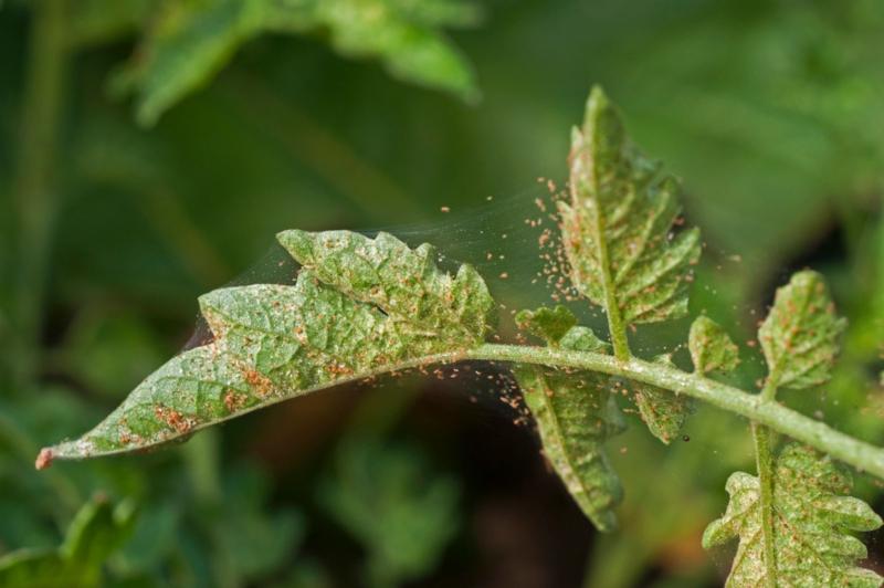 garten pflanzen spinnmilben bekämpfen mit hausmitteln diy anleitung