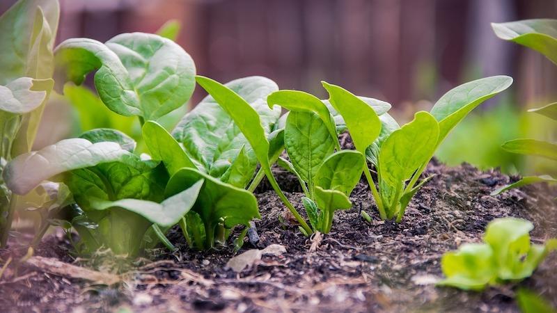 gemüse im september aussäen spinat pflanzen frische keimen im topf