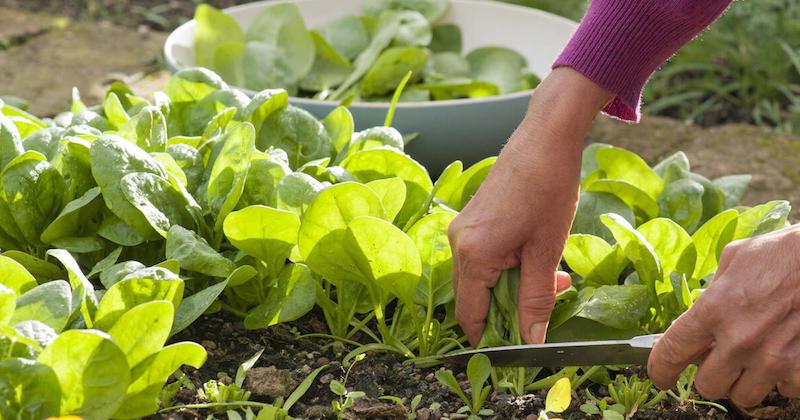 spinat (spinacia oleracea) mit einem scharfen messer abschneiden