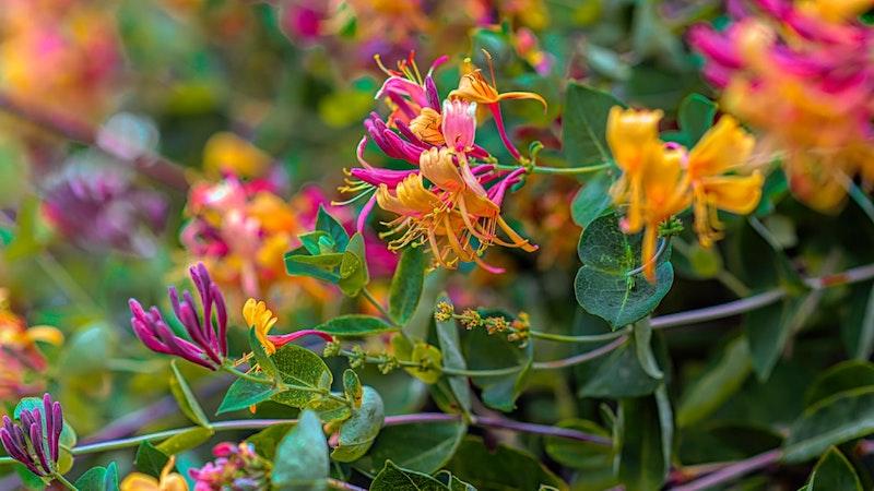 immergrüne blühende kletterpflanzen winterhart das japanische geißblatt pink und orange