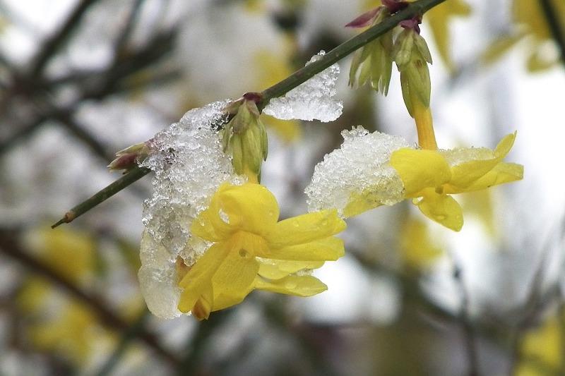 immergrüne blühende kletterpflanzen winterhart gelber jasmin mit frost