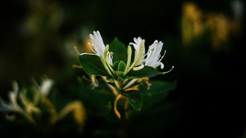 immergrüne kletterpflanzen winterhart mehrjährig schnellwachsend lonicera japonica in weiß