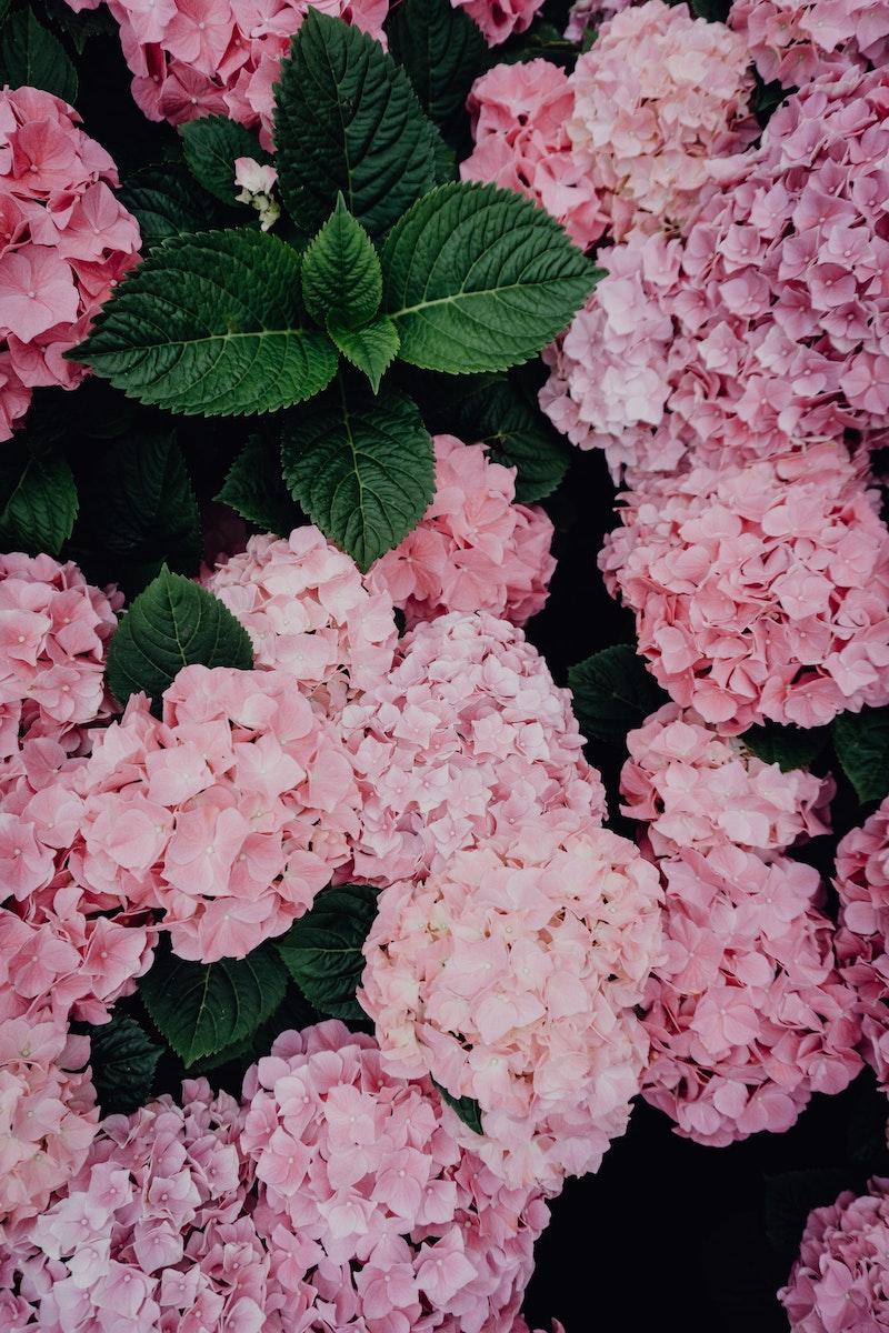 immergrüne kletterpflanzen winterhart mehrjährig schnellwachsend rosa kletterhortensie mit grünen blättern